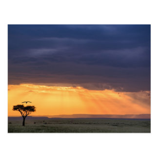 Panoramic view of Vulture and acacia tree Postcard