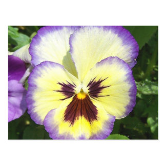 Pansy Flower Pictures Postcard