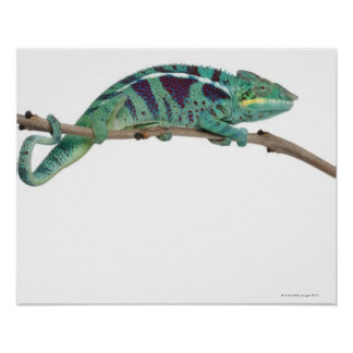 Panther Chameleon Nosy Be (Furcifer pardalis) Poster