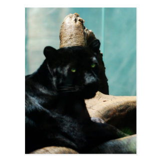 Panther with Piercing Eyes Postcard