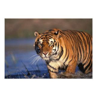 Panthera le Tigre de tigre de l'ASIE, Inde, Bengal Impression Photo