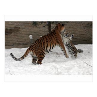 Panthera_tigris_altaica_30_-_Buffalo_Zoo Postcard