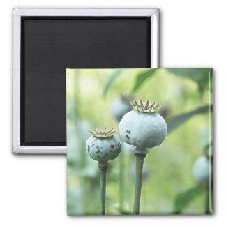 Papaver Somniferum Seed Heads Magnet