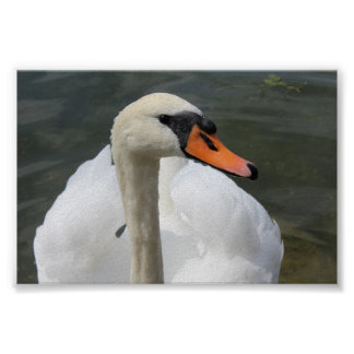 Paper poster (chechmate) Swan