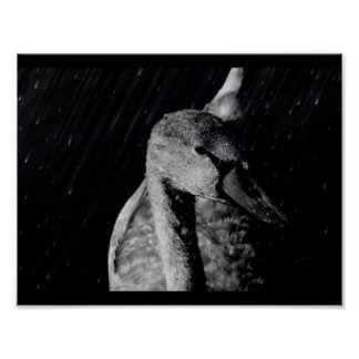 Paper poster (chechmate) Young Black/White Swan