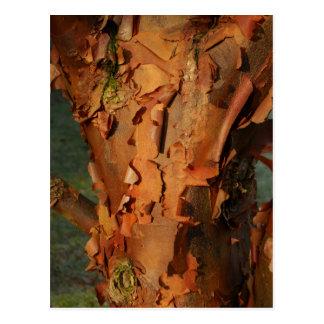 Paperbark Maple Postcard