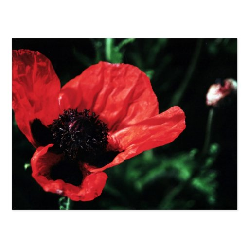 Papery Red Poppy Post Cards