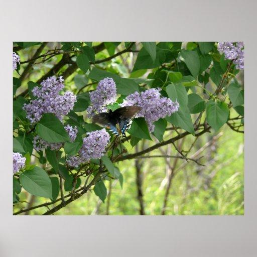 Papillon de machaon et Bush lilas Affiches
