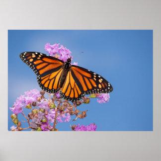 Papillon de monarque sur la crêpe le Myrte Affiche