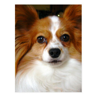Papillon Dog Postcard