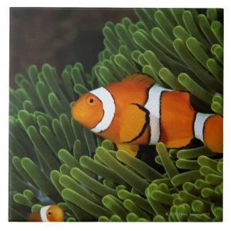 Papua New Guinea, false clown anemonefish and Tile