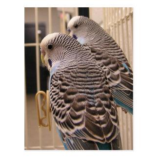 Parakeets Postcard