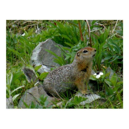 Parkee Squirrel, Unalaska Island Postcard