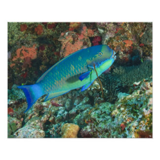 Parrotfish near Taveuni Island, Fiji, South Poster