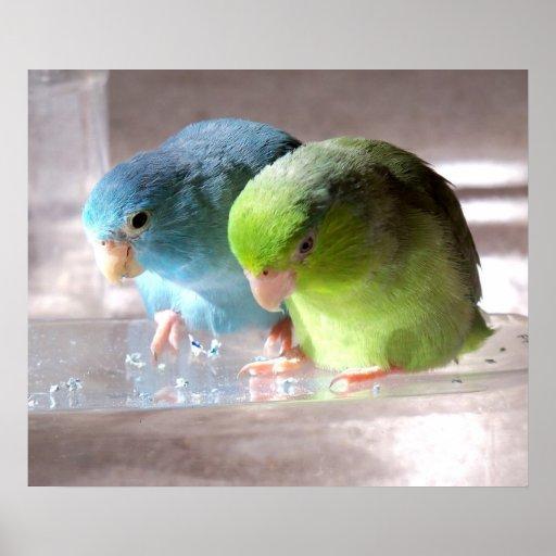 Parrotlet Birds - Best Friends Forever Poster Phot