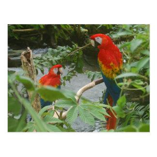 Parrots - scarlette macaw postcard