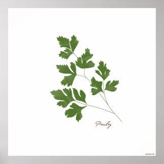 Parsley Stem Illustration |  Herb Botanical Print