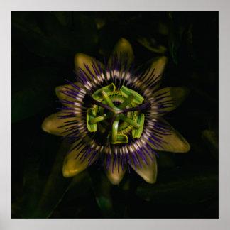 "passiflora 16""x16"" / 40x40 cm poster"
