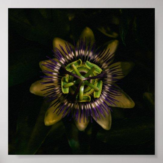 "passiflora 6""x6"" / 15x15 cm poster"