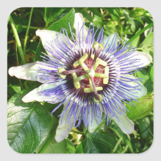 Passiflora Against Green Foliage In A Garden Square Sticker