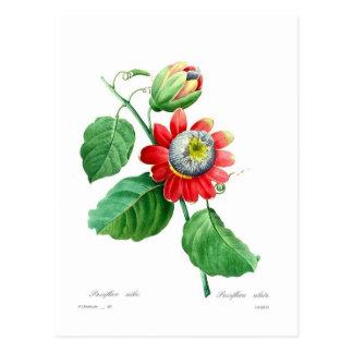 Passiflora alata by Pierre-Joseph Redouté Postcard