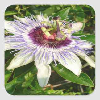 Passiflora Close Up With Garden Background Square Sticker