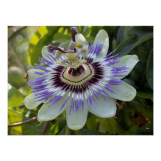Passiflora edulis forma flavicarpa (Passion Flower Poster