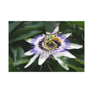 Passiflora - Floral Photography Canvas Print