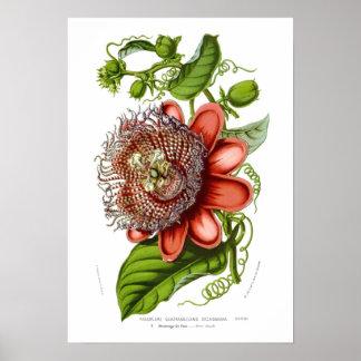 Passiflora quadrangularis decaisneana poster