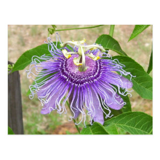 Passion Flower Postcard