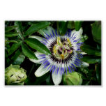 Passion Flower ~Print~ Poster