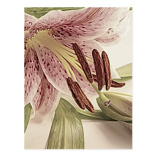 Pastel Lilly. Postcard