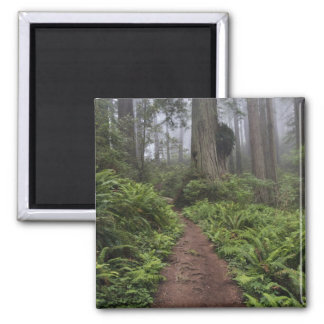 Path through the giant redwood trees shrouded 2 square magnet