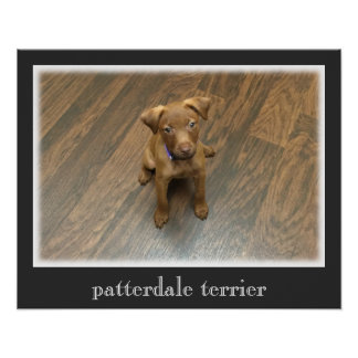 Patterdale Terrier Poster -  Dark Gray Border