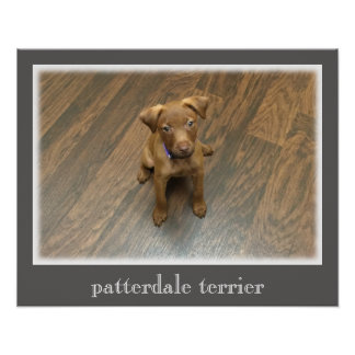 Patterdale Terrier Poster - Gray Border