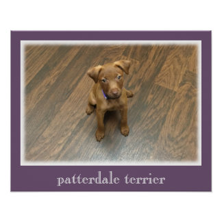 Patterdale Terrier Poster - Purple Border