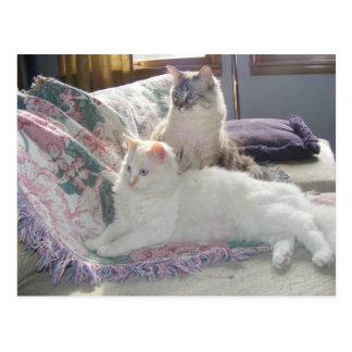 Peaceful kitties Postcard