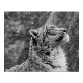 Peaceful Snow Leopard Perfect Poster