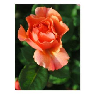 Peach Beauty Rose Postcard