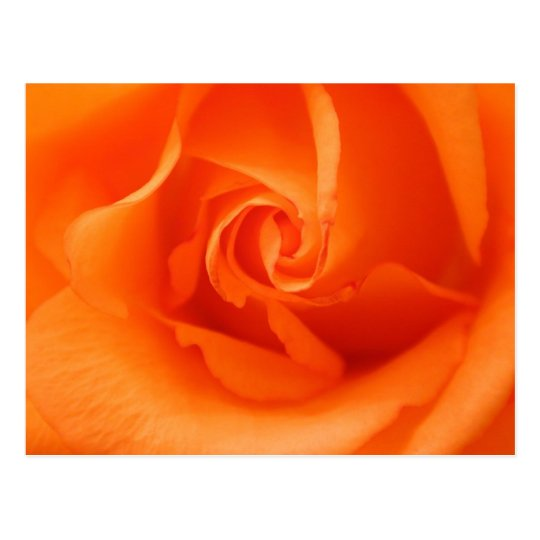 Peach Orange Rose Postcard