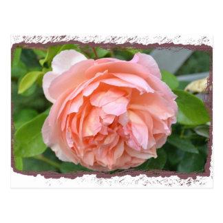 Peach Peony Postcard