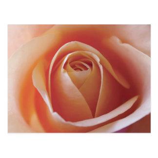 Peach Rose Photograph Postcard