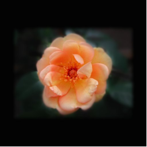 Peach - Yellow rose, on black. Photo Cut Outs