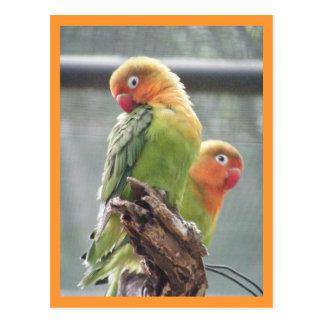 Peachface parrots postcard