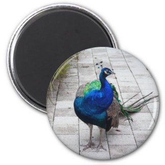 Peacock 1 2 inch round magnet