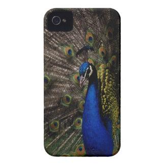 Peacock 2 iPhone 4 covers