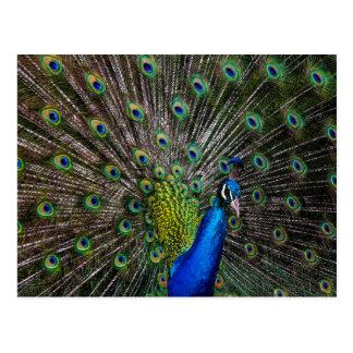 Peacock Beauty Postcard