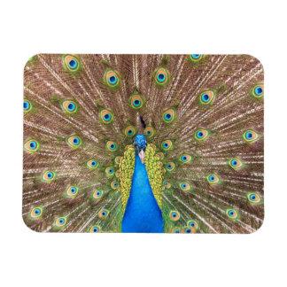Peacock bird blue feathers photo portrait  magnet