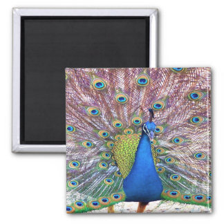 Peacock Bird Feathers Wildlife Animals Square Magnet