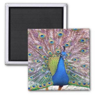 Peacock Bird Feathers Wildlife Animals Square Magnet